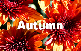 autumn-flowers