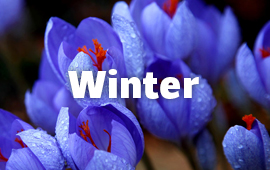 winter-flowers