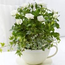 Chic Cream Rose Teacup
