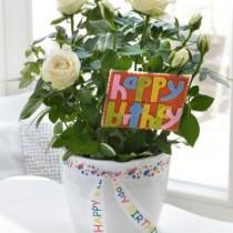 Happy Birthday Rose Plant